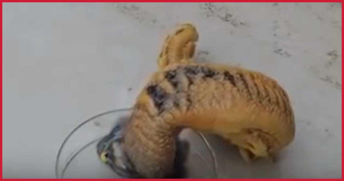 Da kriecht eine Schlange aus einer Schale heraus, sieh dir das an!