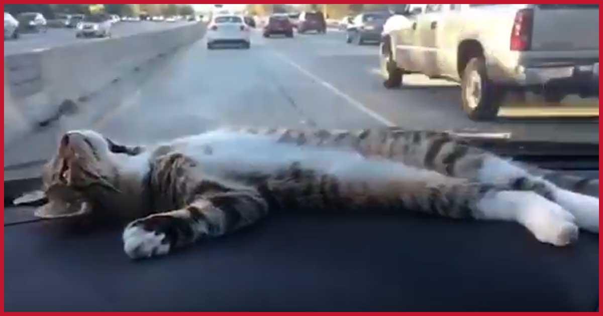 Katze chillt während der Fahrt auf Amaturenbrett!