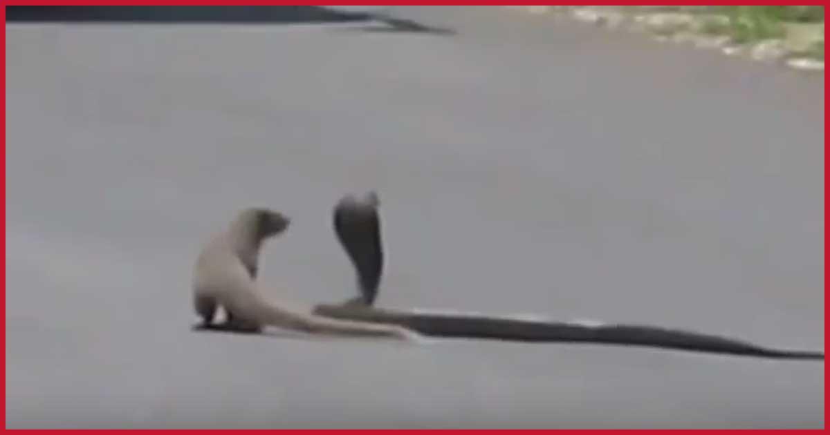 Wie geht der Straßen-Kampf aus? Mungo gegen Cobra.