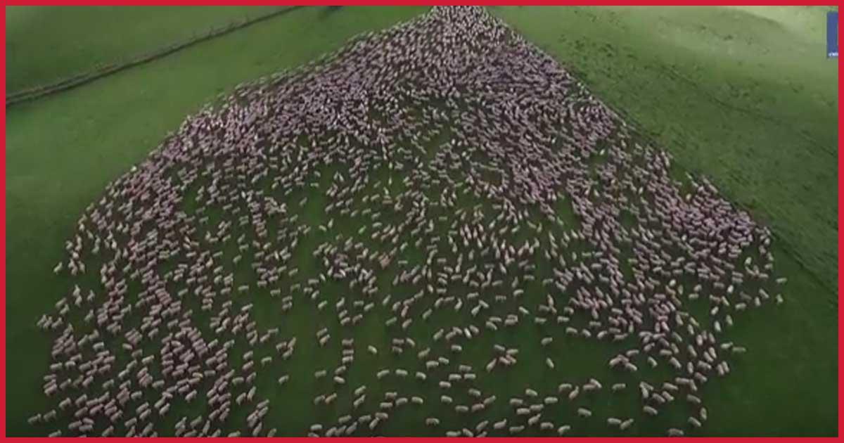 Schäferhunde haben ihre Schafe voll im Griff.
