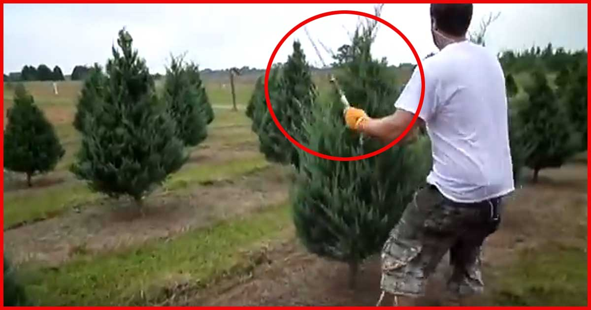 Weihnachtsbäume im AKKORD trimmen?! Sieh dir das an!