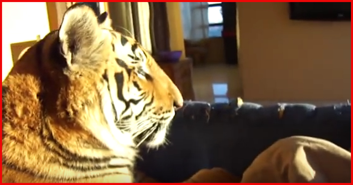 Sind die Tiger als Haustiere anerkannt?