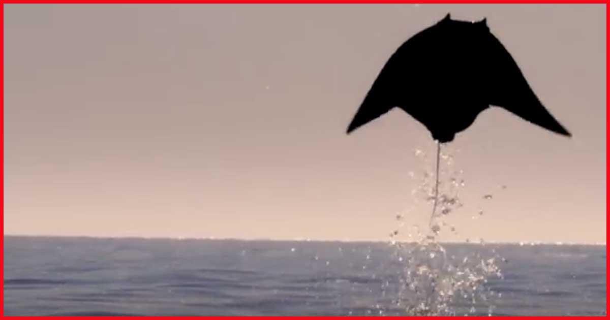 Können Rochen fliegen? Siehe selbst!
