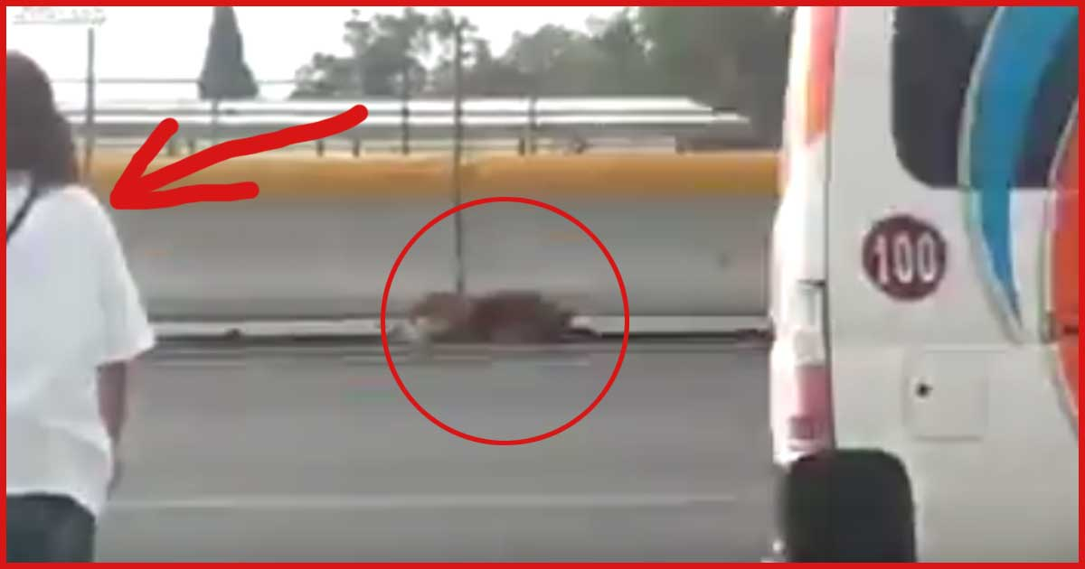 UNGLAUBLICH MUTIG! Diese Frau rettet einen verletzten Hund, bei fließendem Verkehr von der Autobahn!