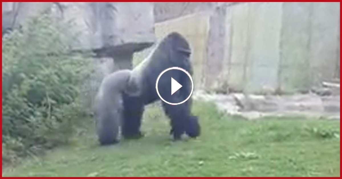 Totaler SCHOCK im Zoo. Gorilla-Mann zerbricht Besucherscheibe!