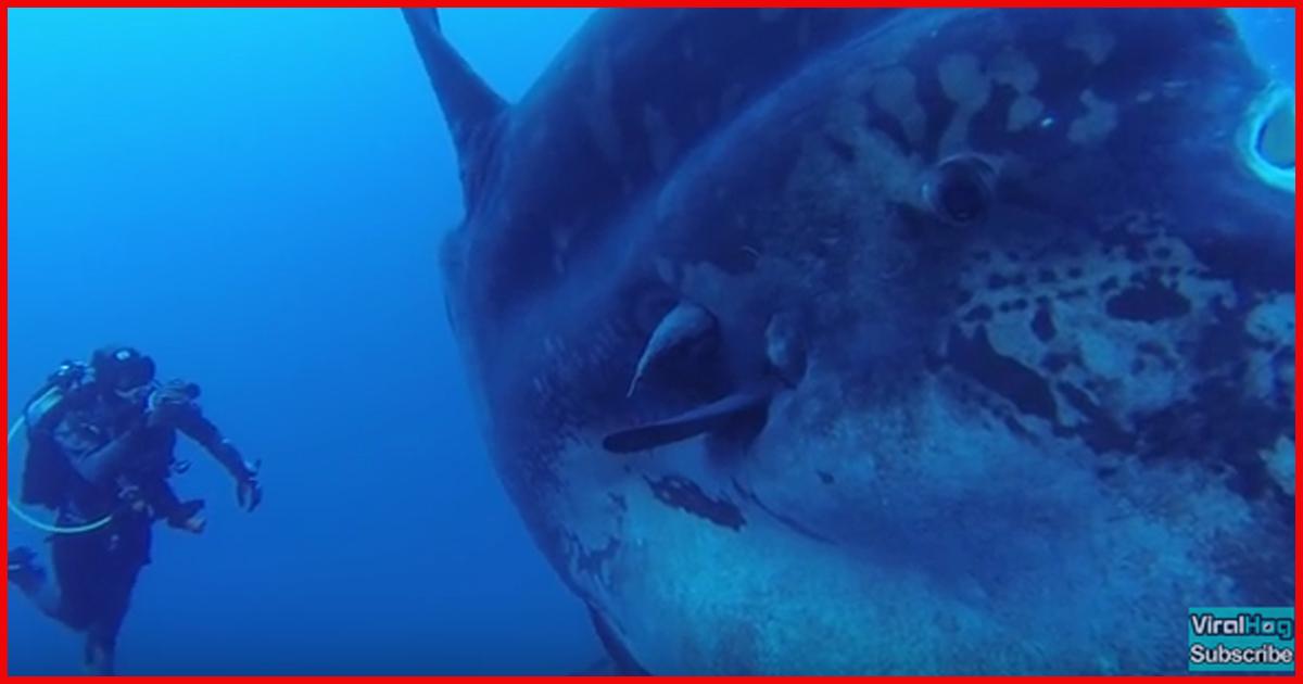 Taucher entdeckten riesigen Mondfisch!