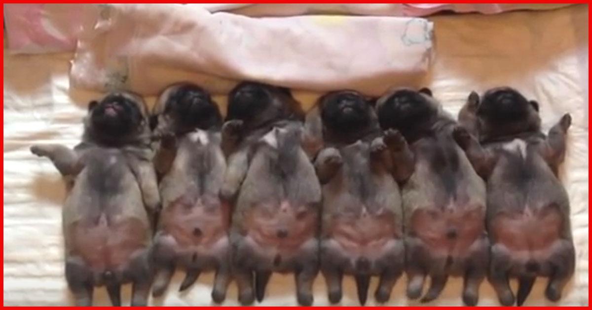 Schläfrige neugeborene Mops gehen schlafen. Sieh dir den ganz links an!