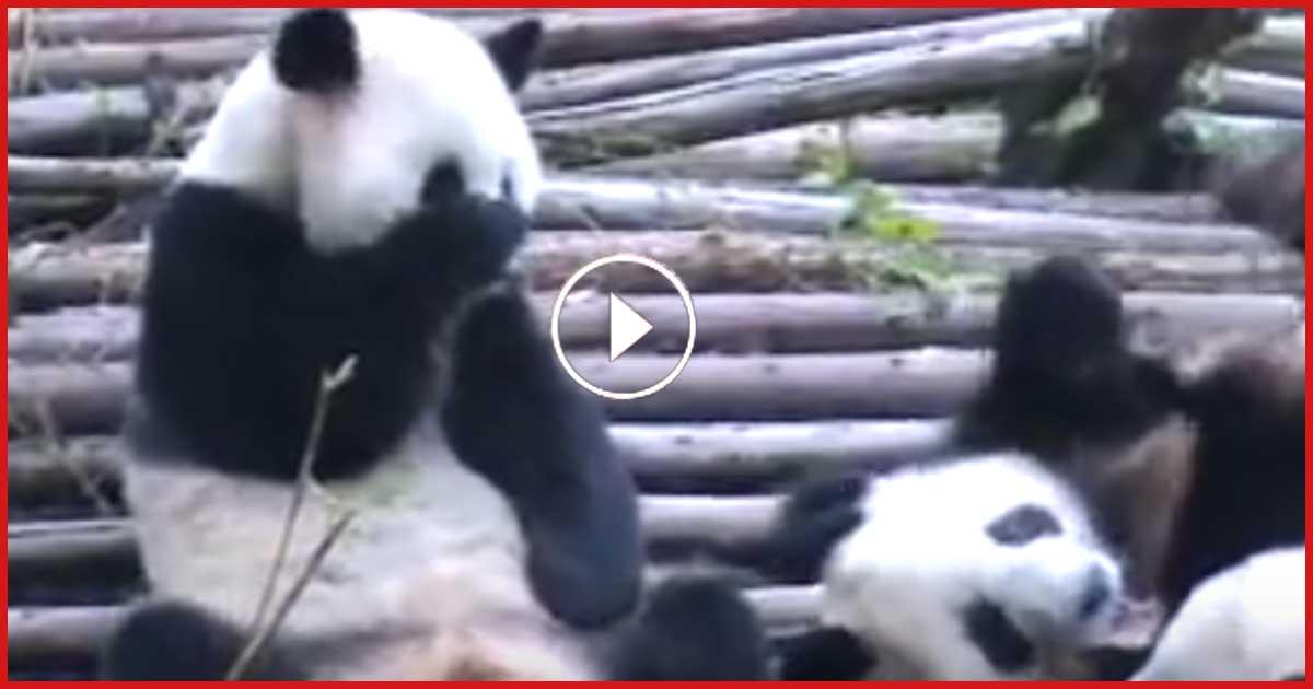 Dieser Panda macht etwas aussergewöhnliches. Sieh´ selbst