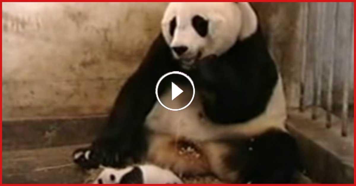 Dieses Video ist schon 218 Millionen mal geklickt worden. Baby Panda und Mama Panda, einfach zu niedlich!