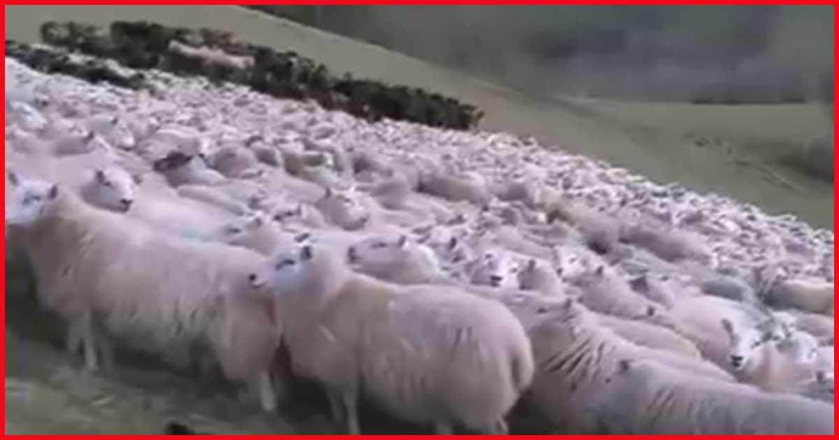 Schafe hüten EXTREM. Unfassbar, das hast du noch nicht gesehen!